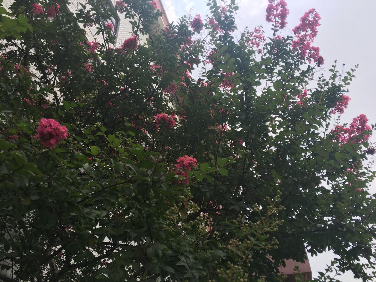 배롱나무 꽃 필때
